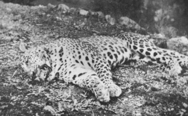 the panar leopard killed 400 people