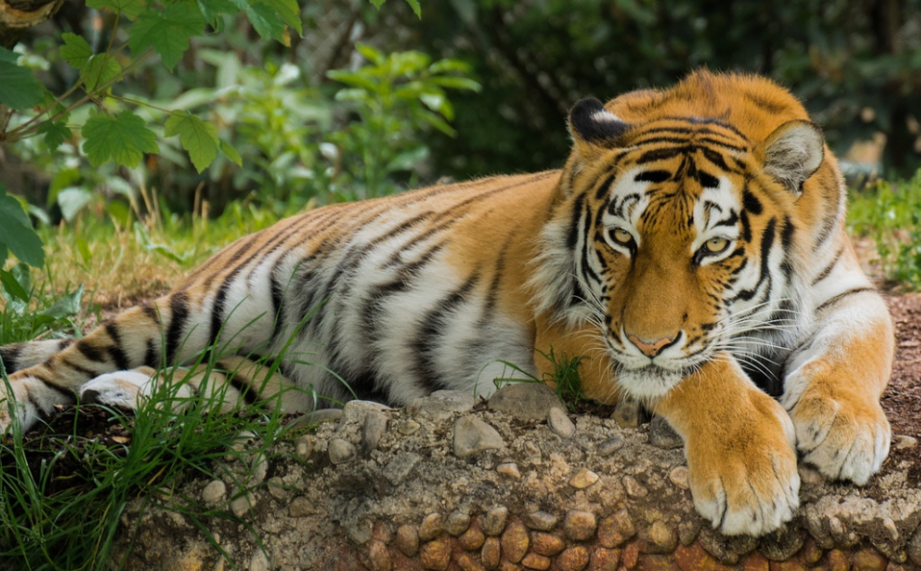 Tigers are endangered species