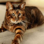 8 Fascinating Facts About Toygers