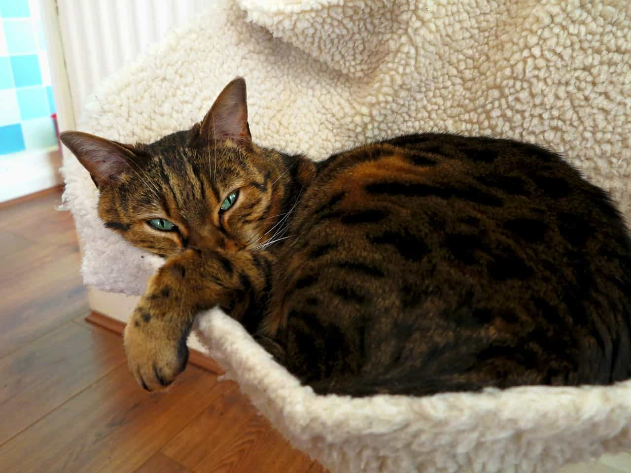 Toyger lying in the couch