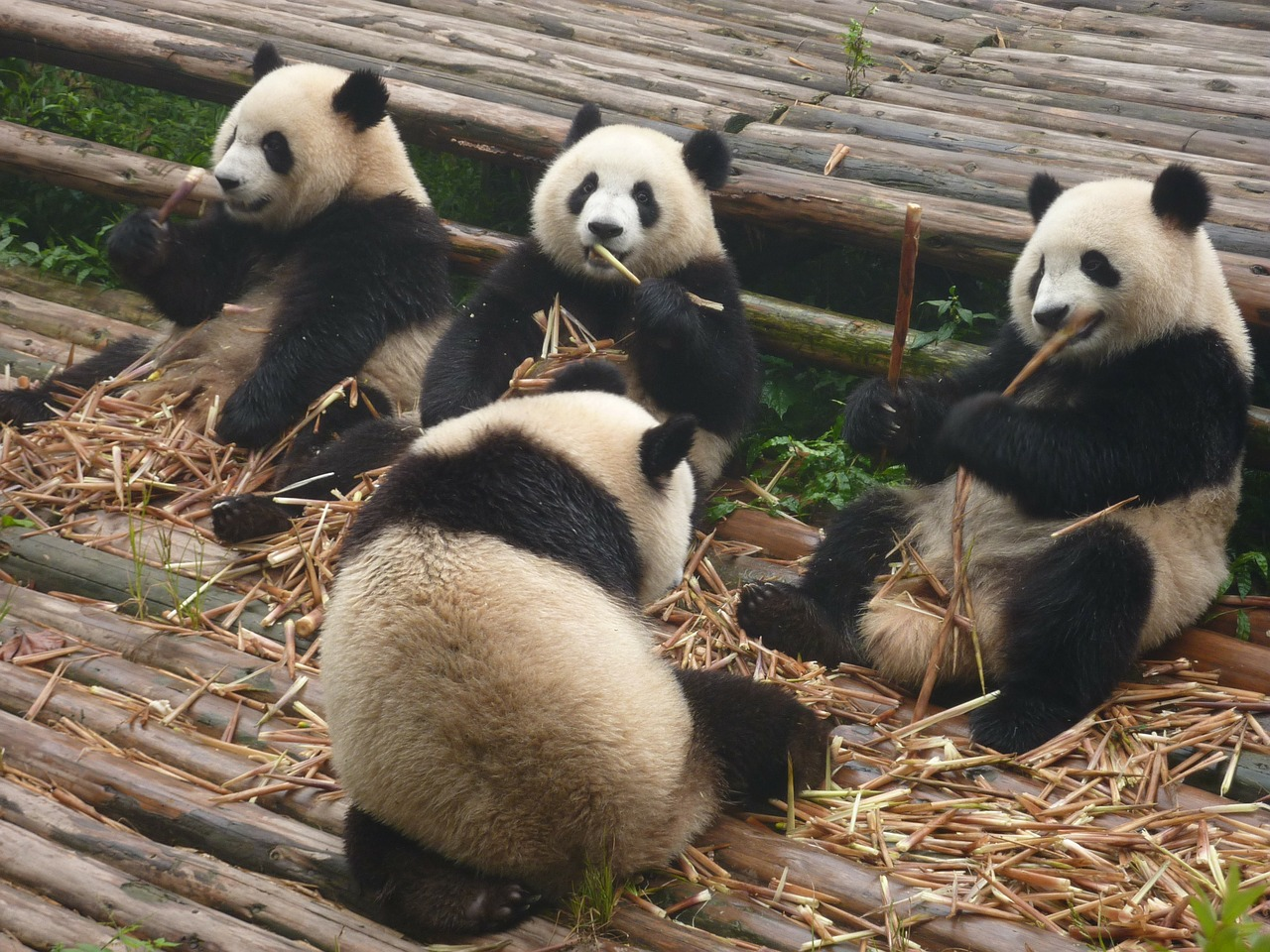 Types of bears in the world giant panda