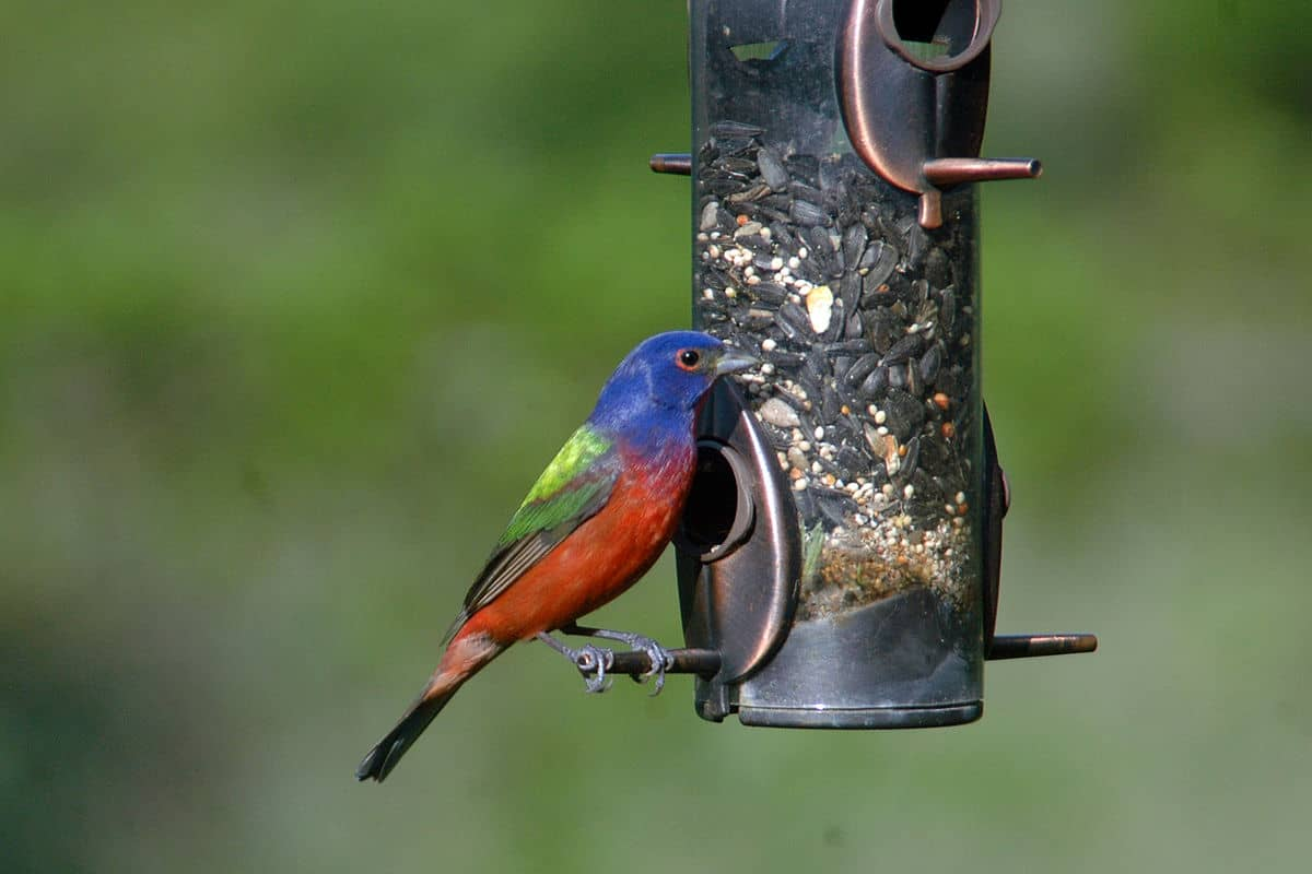 what do Painted buntings eat