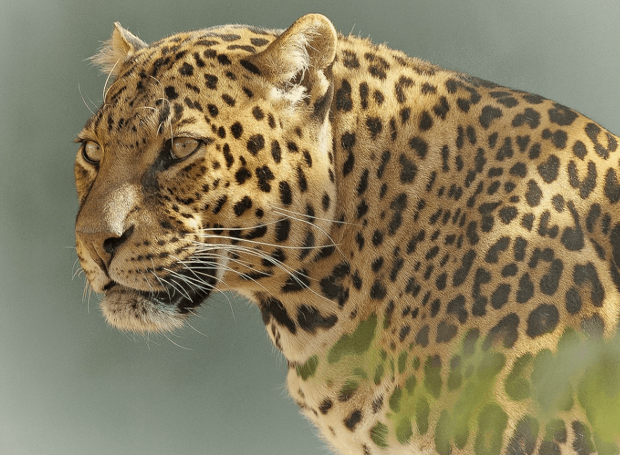 what does a leopard look like