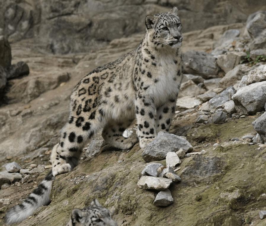 Where do snow leopards live