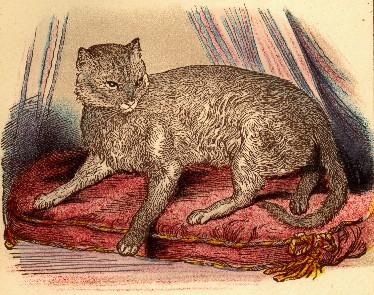 zula first abyssinian cat