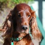 Top 10 Fascinating Facts About Irish Setters