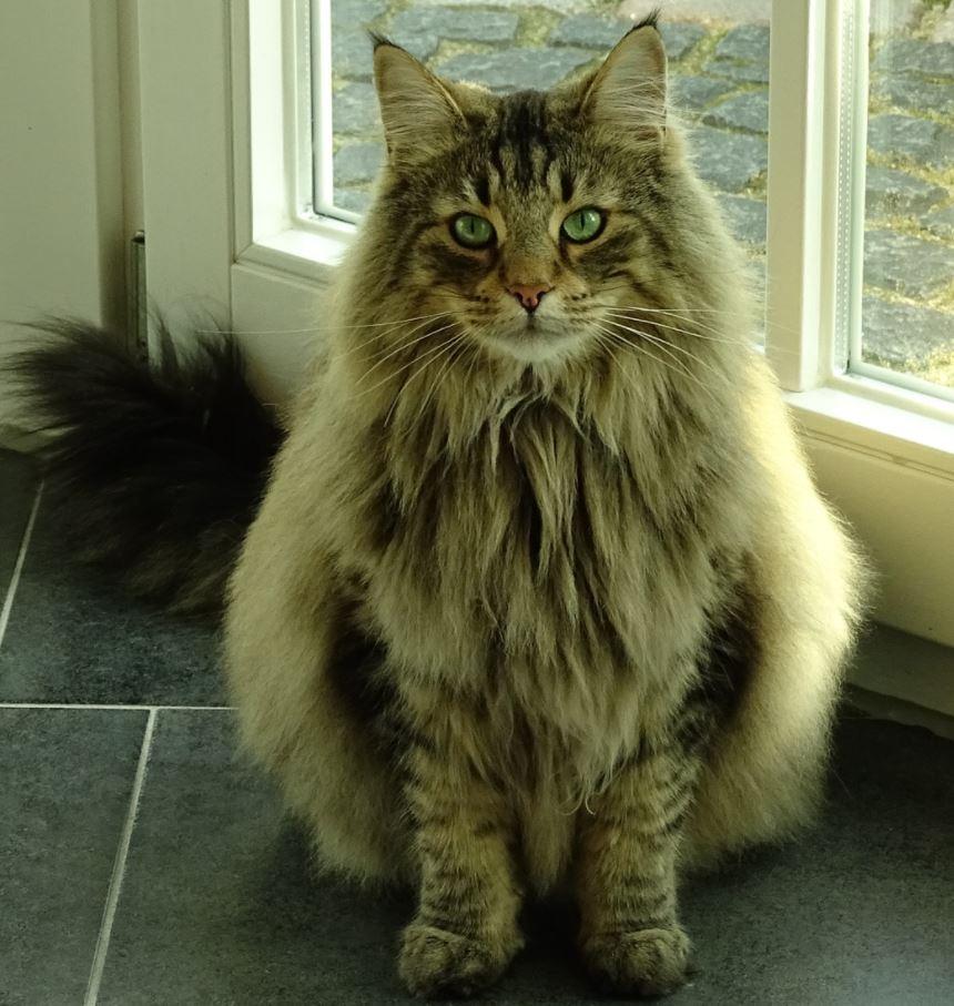 Norwegian forest cat indoor