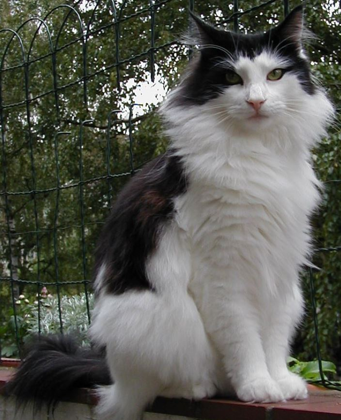 fun facts about norwegian forest cats