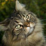 Top 12 Fun Norwegian Forest Cat Facts