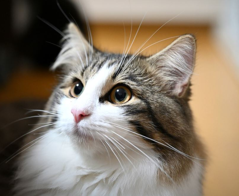 national cat of Norway
