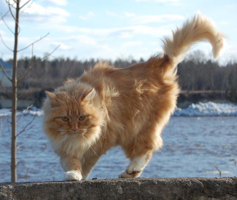 norwegian forest cat fun facts