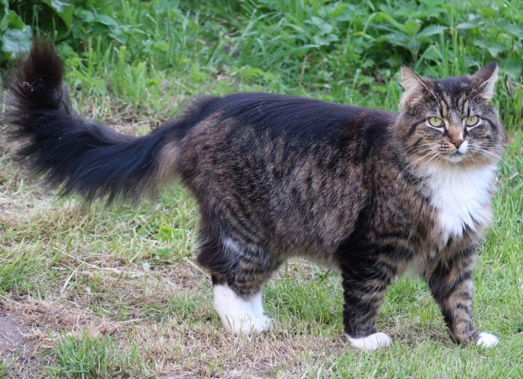 norwegian forest cat ancestry
