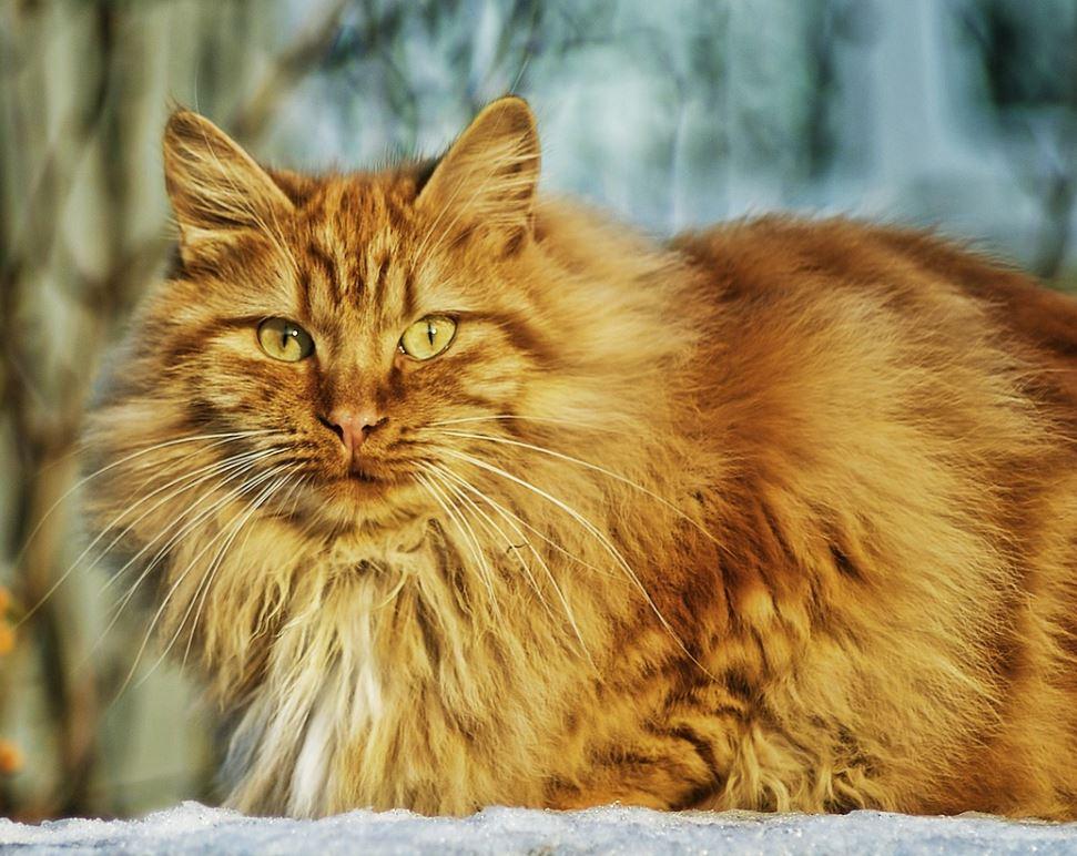 norwegian forest cat colors