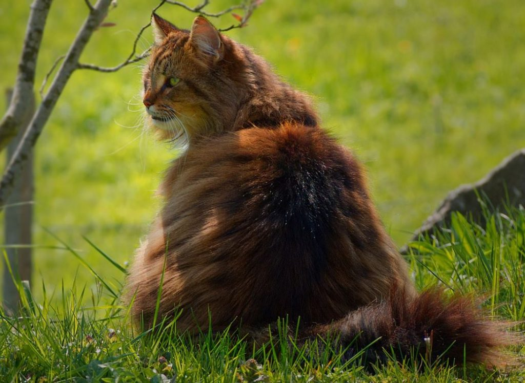 norwegian forest cat facts