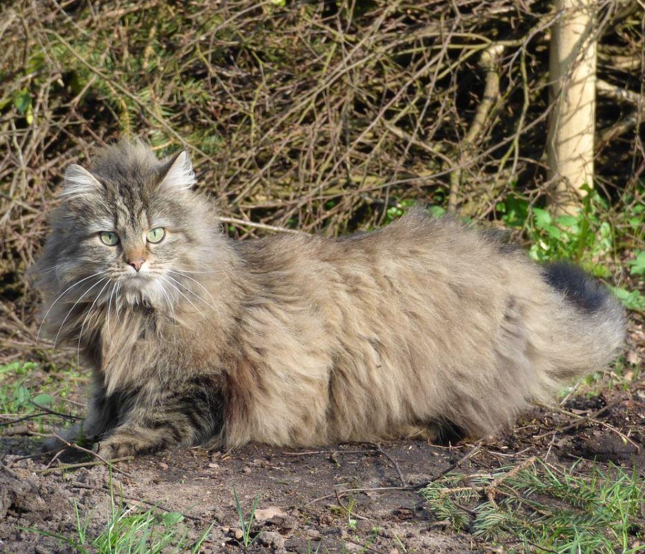 norwegian forest cat thick coat