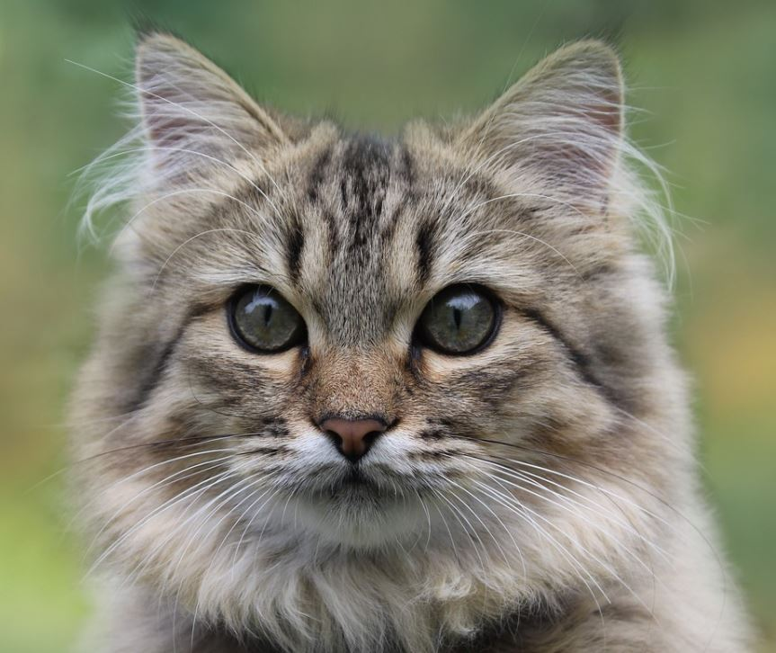 norwegian forest cat young