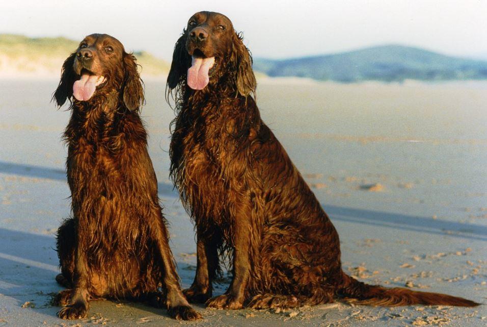 two irish setters