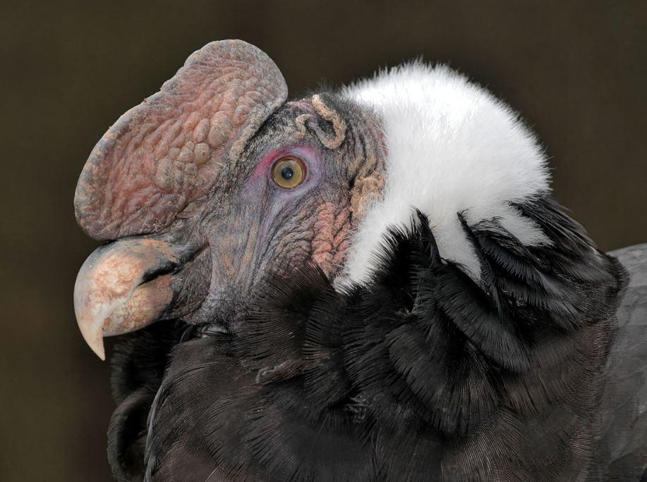 Andean Condor head