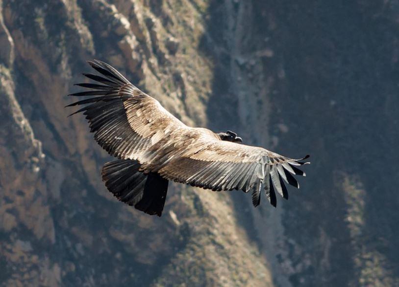 Andean condor facts