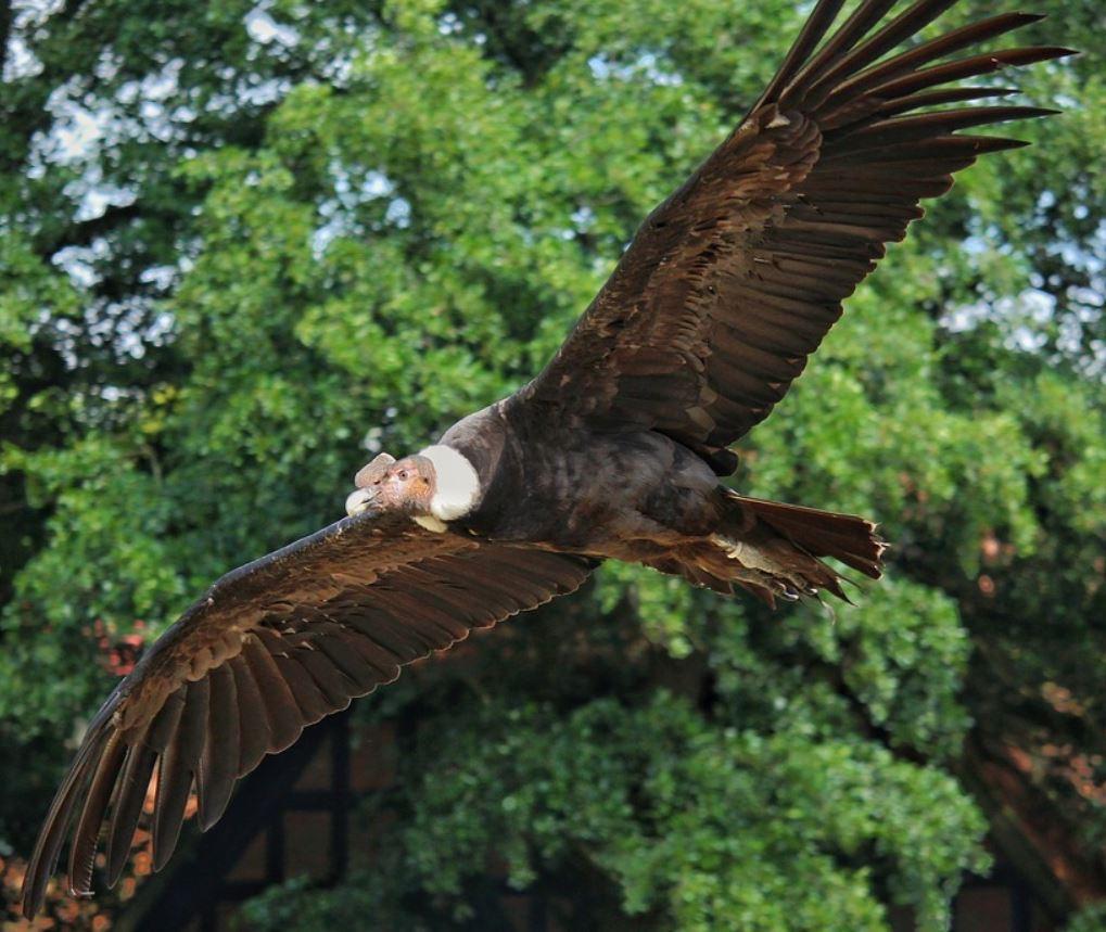 Andean condor wingspan