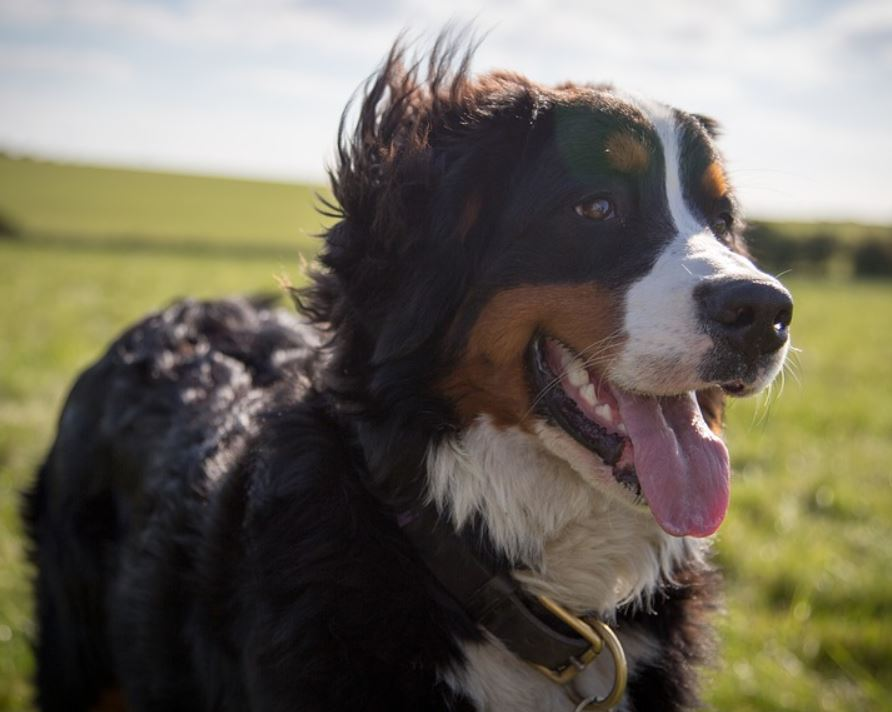 Bernese mountain dogs are great pets