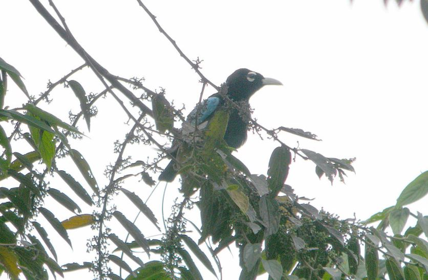 Blue bird of paradise in a tree