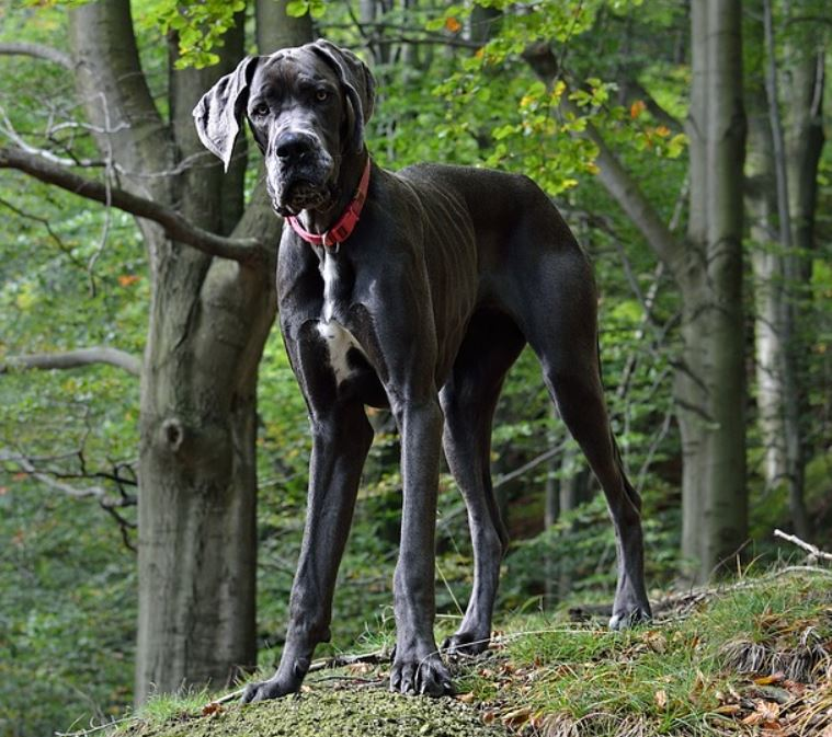 Great dane facts