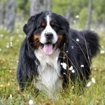 Top 12 Fun Bernese Mountain Dog Facts