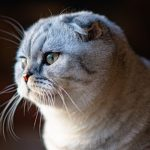 Top 12 Floppy Facts About The Scottish Fold