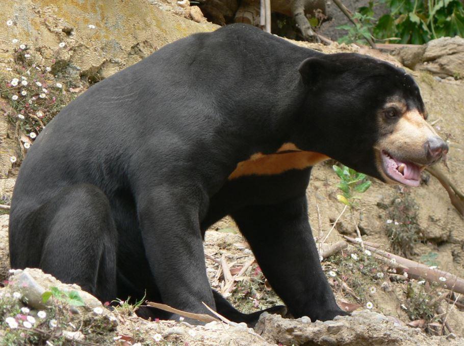 Sun bear Wellington zoo