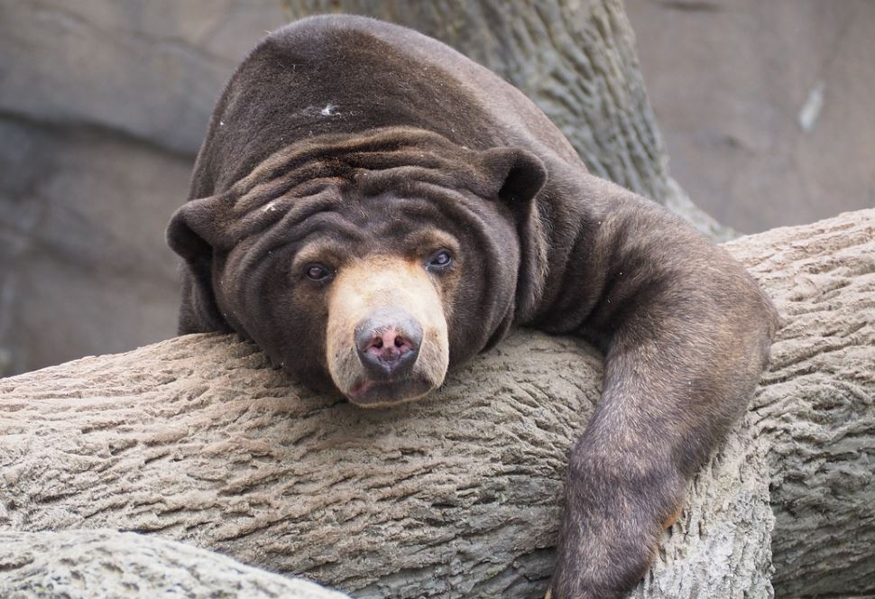 Sun bear hanging out in a tree