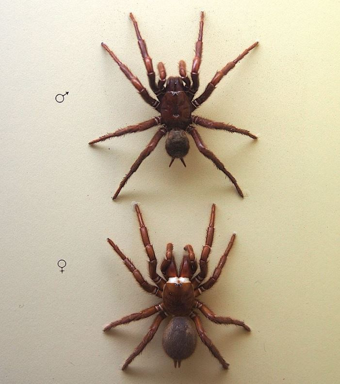 male and female sydney funnel web spider