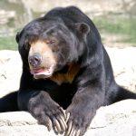 Top 12 Adventurous Facts About Sun Bears