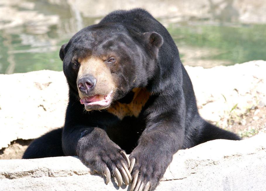 sun bear making faces