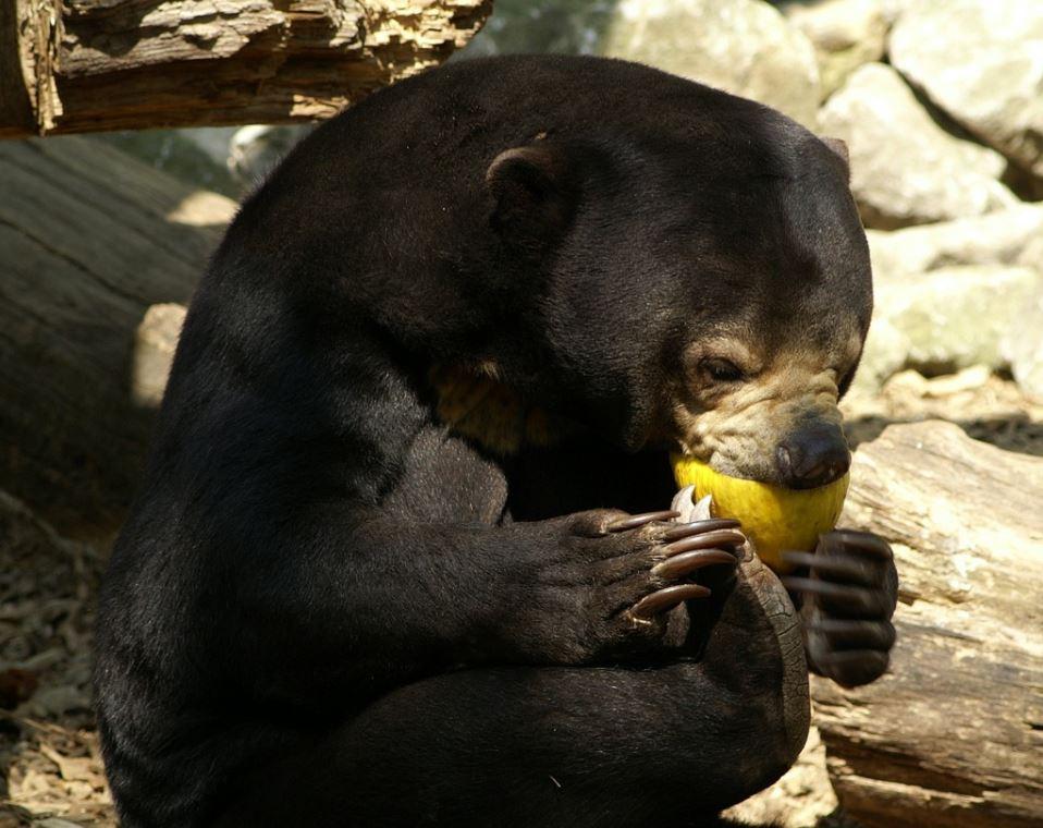 what do sun bears eat