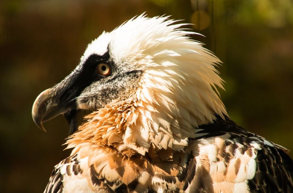 Bearded vulture fun facts