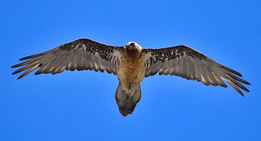 Bearded vulture size