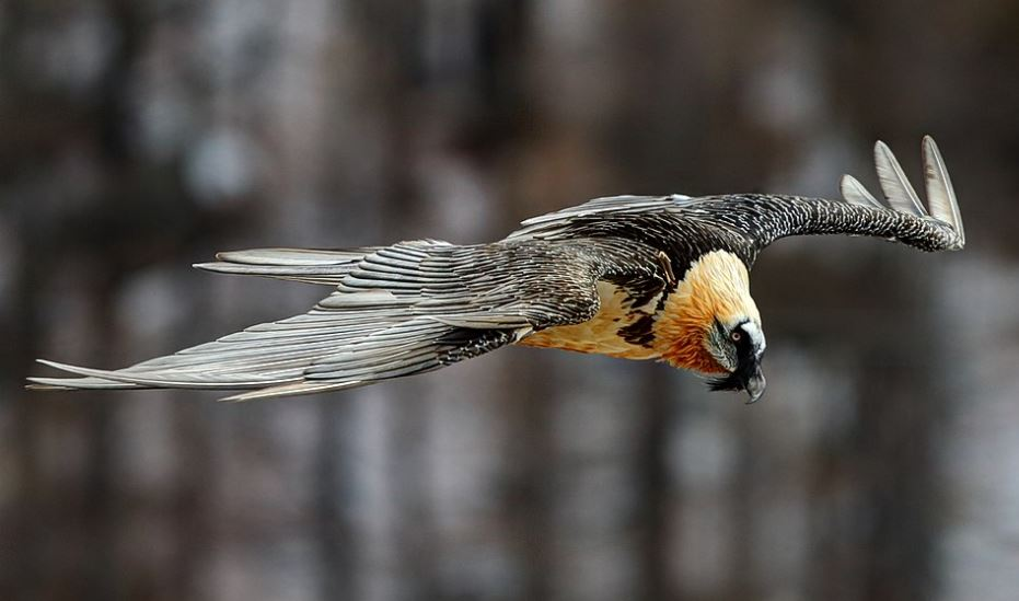 Flying bearded vulture
