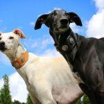 Greyhound pets
