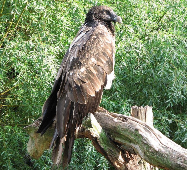Juvenile bearded vulture