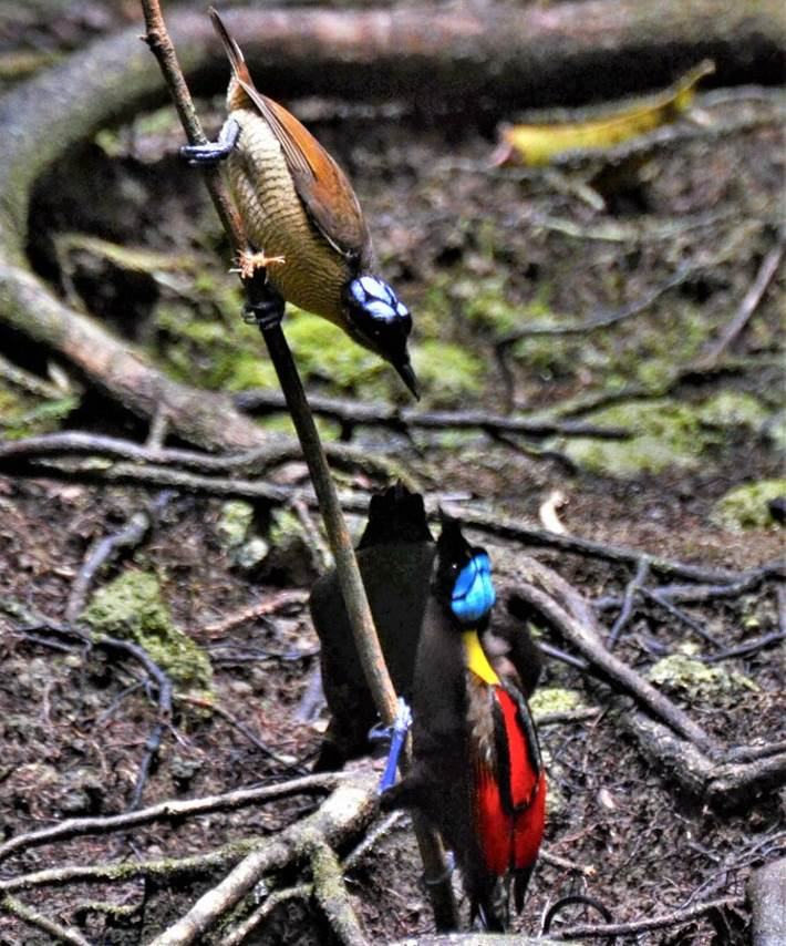 Male and female wilsons bird of paradise
