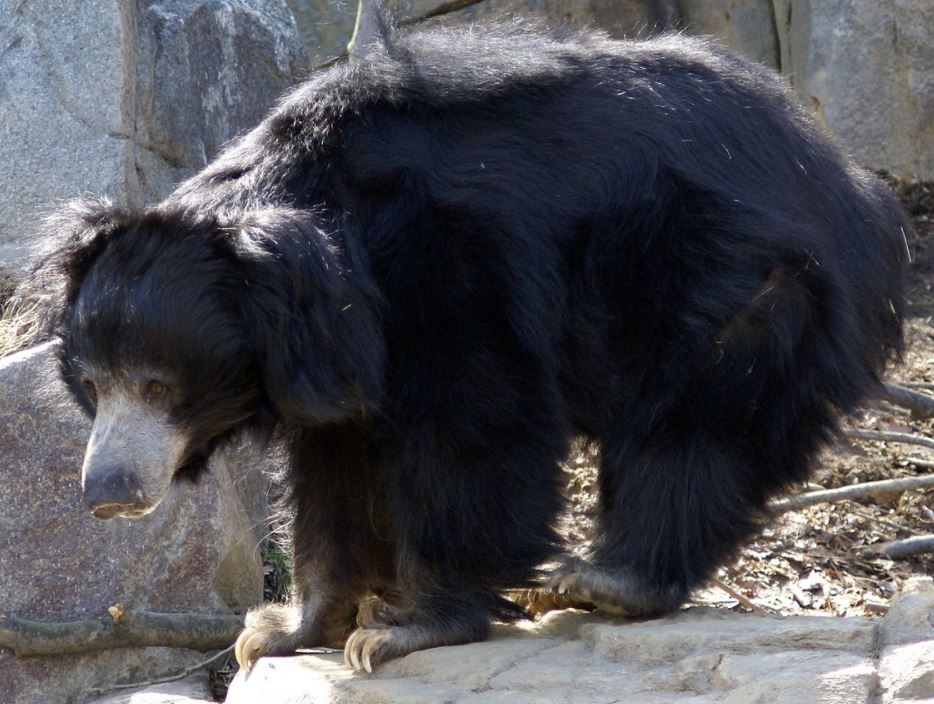 Sloth Bear in Washington zoo
