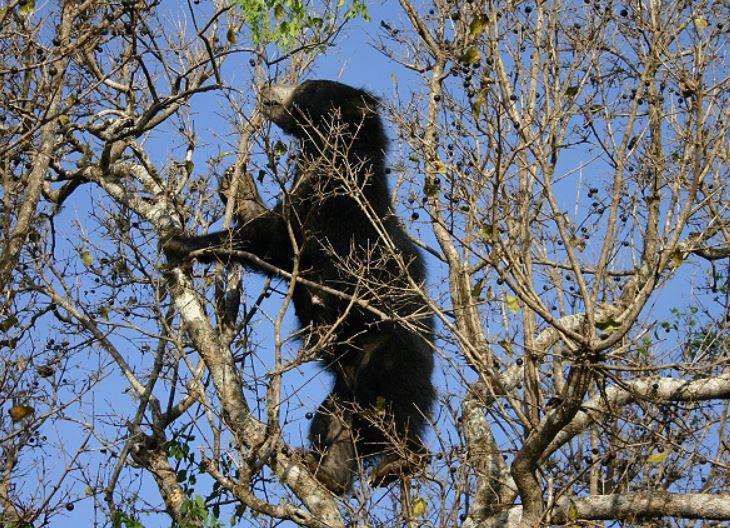 Sloth bear in a tree