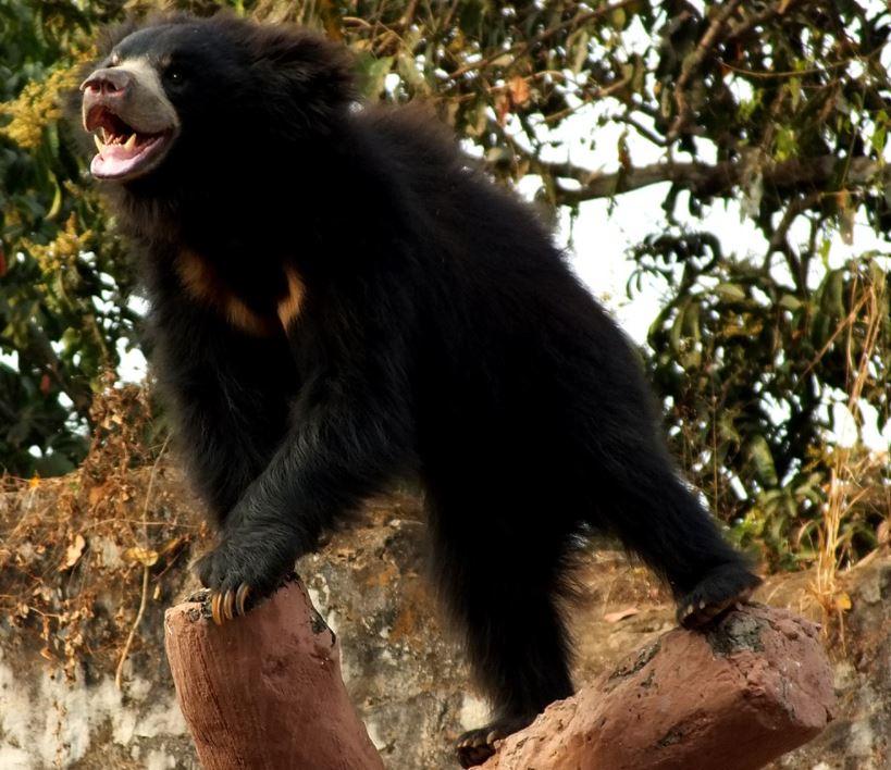 Sloth bear size