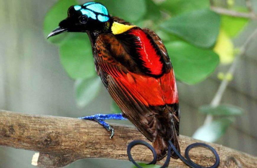 10 Fun Wilson's Bird-Of-Paradise Facts