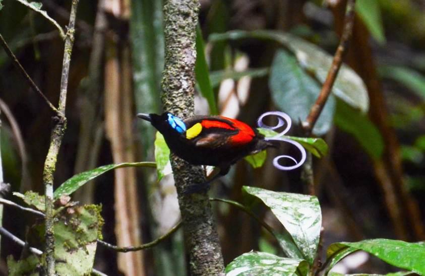 Wilsons bird of paradise facts
