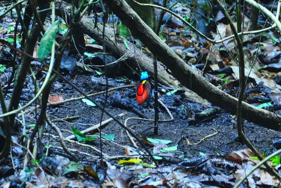 Wilsons bird of paradise habitat