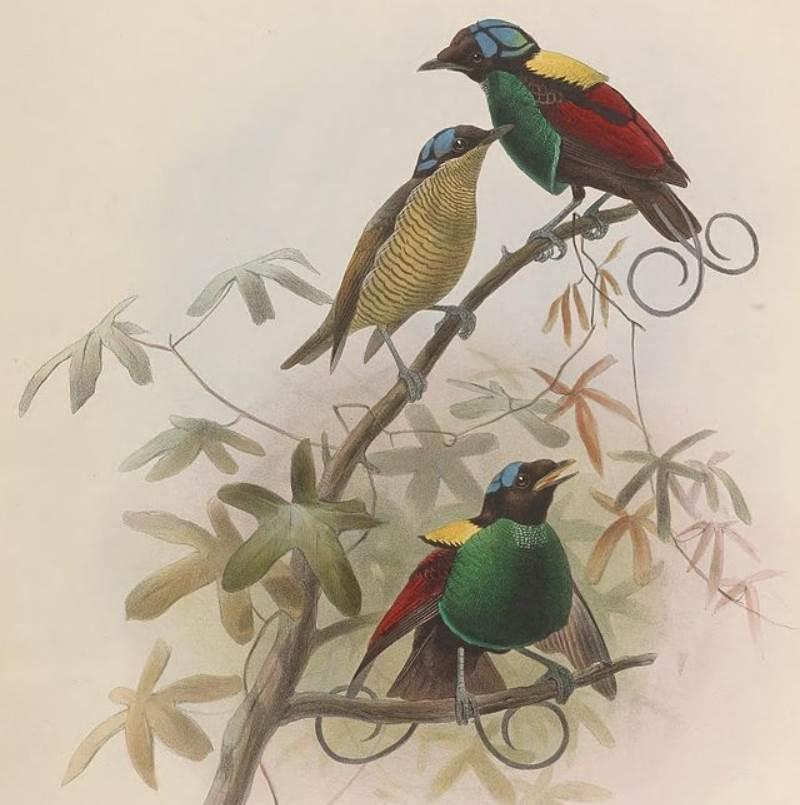 Wilsons bird of paradise illustration