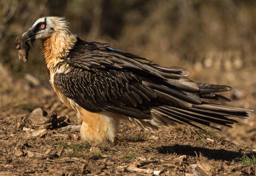 bearded vulture diet