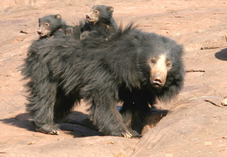 sloth bear and cubs